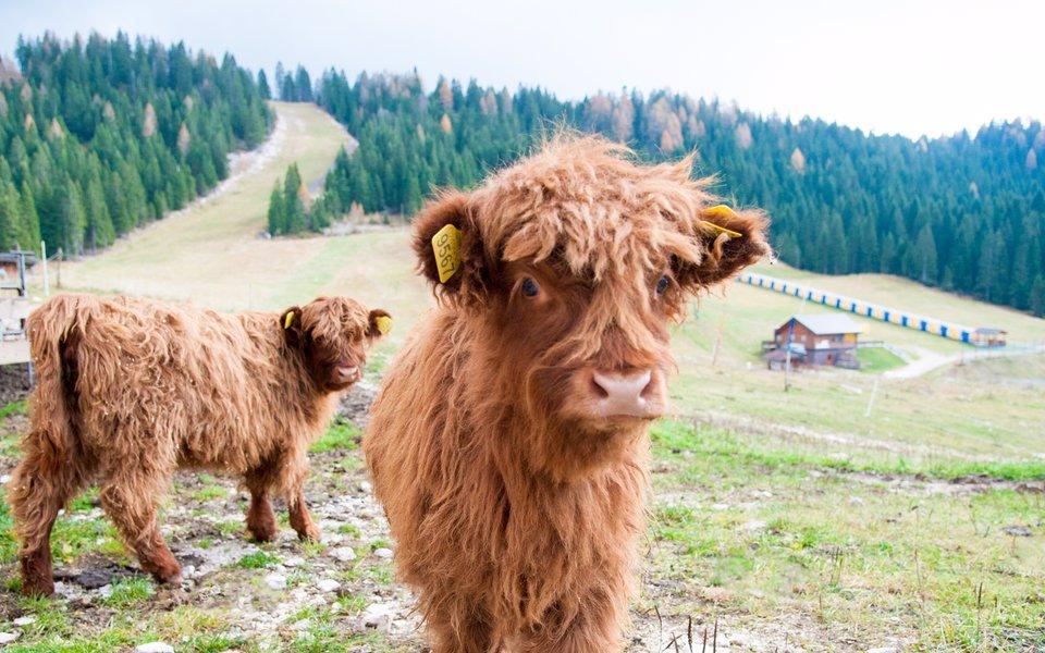 malghe e mucche w